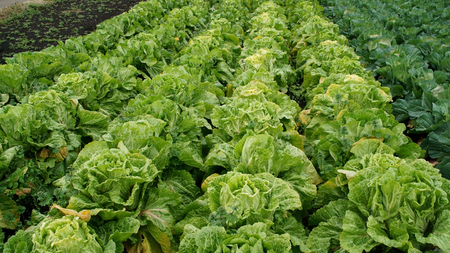 Chinese cabbage of plant.