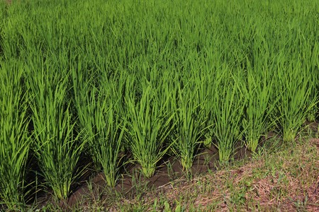 young rice plant in rice field at Japan Banco de Imagens