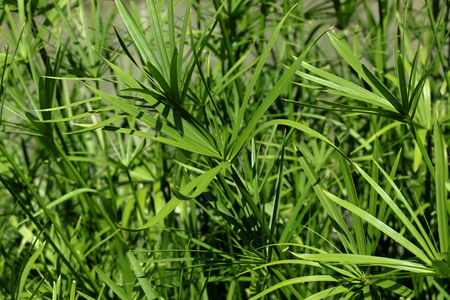 Nut grass green color organic herbal leaves with in the garden background
