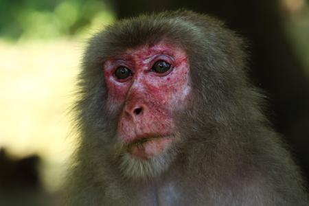 Wild monkey's face in Oita, Japan