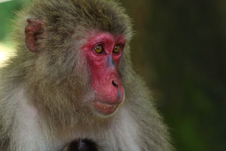 Wild monkey's face in Oita, Japan