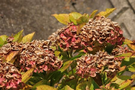 Withered hydrangea flowers close up.