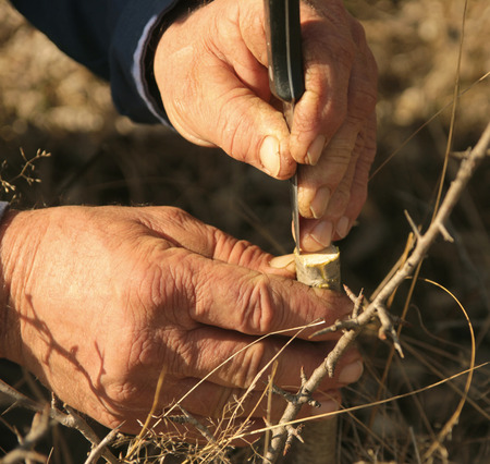 grafting a fruit tree with old hardworking hands in a garden