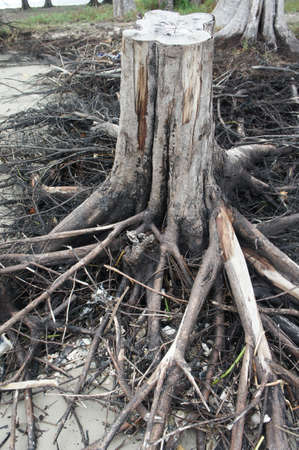 mangrove forest: Stump at the Mangrove forest