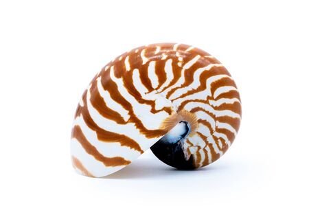 Tiger striped shell nautilus pompilius natural seashell isolated on white backgroundtiger shell nautilus pompilius natural seashell isolated on white background