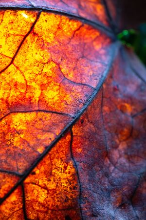 Yellow and orange acer tree leaf backlit to show vein texture. Macro shot,