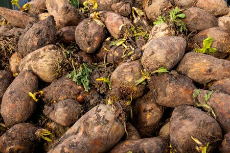 Pile of fodder beet in afternoon sunshine. Winter farm animal feed. Agricultural welfare. Country life. 스톡 콘텐츠