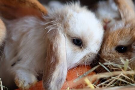 Two cute baby lop eared rabbits sharing a carrot close up