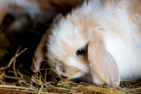 Cute fluffy baby lop eared bunny eating hay