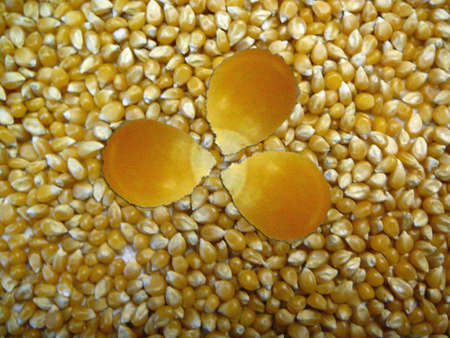 unpopped popcorn kernels