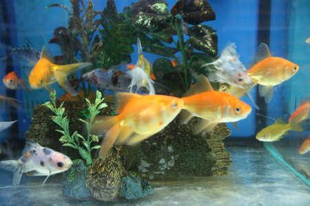 Goldfish in aquarium Zdjęcie Seryjne