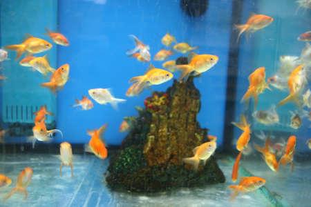 goudvissen in aquarium
