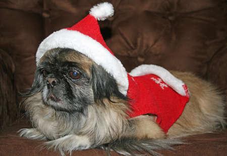 Pekingenese wearing Christmas outfit Zdjęcie Seryjne