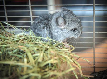 Baby pet chinchilla and green hay Stock Photo