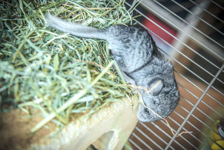 Baby pet chinchilla in cage Stock Photo