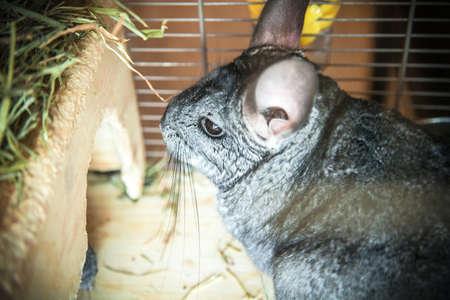 Gray pet chinchilla sitting in cage