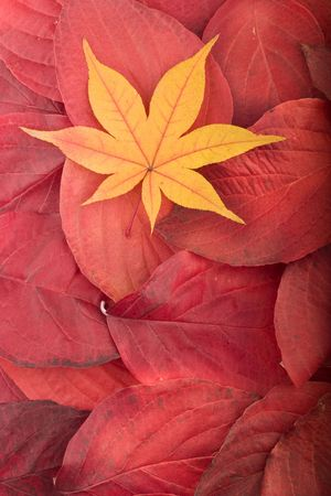 Autumn background composed from overlapped red leafes and yellow maple leaf