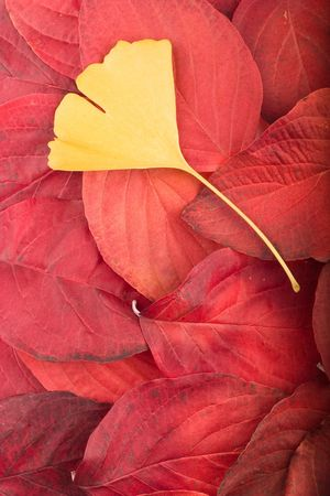 Autumn background composed from overlapped red leaves and single yellow gingko biloba leaf