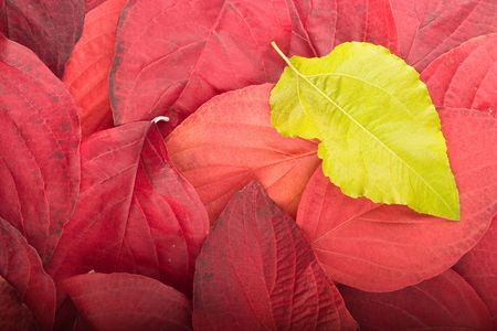 Autumn background composed from overlapped red leaves and single green leaf