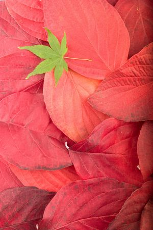 Autumn background composed from overlapped red leaves and single green maple leaf