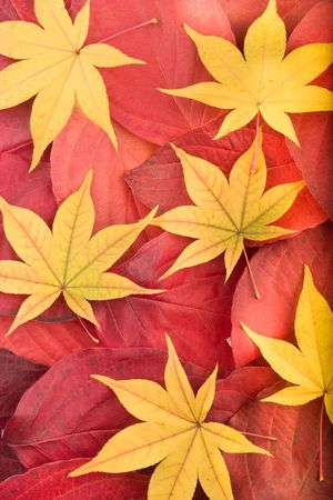 Autumn background composed from overlapped red leaves and separated yellow maple leaves Stock Photo