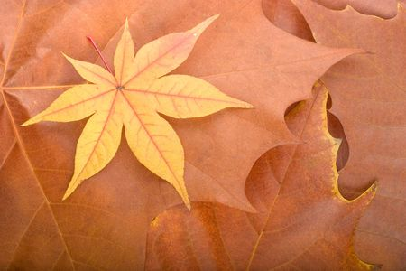 overlapped: Autumn background composed from overlapped maple leaves