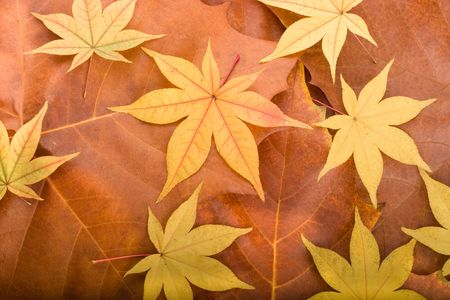 Autumn background composed from overlapped maple leaves