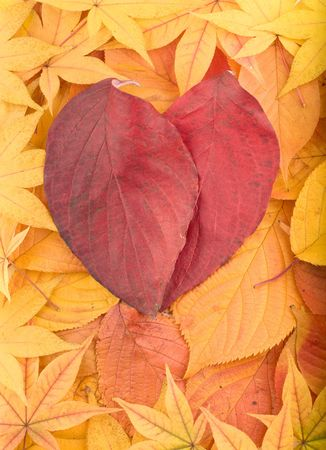 Autumn background composed from overlapped yellow leaves and two red leaves arranged as heart