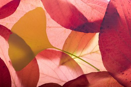 Autumn background composed from overlapped red leaves and yellow gingko biloba leaf