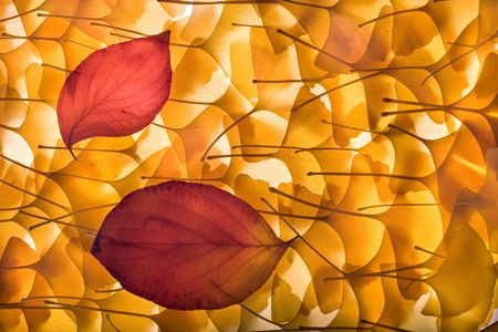 Autumn background composed from overlapped gingko biloba leaves and two red leaves