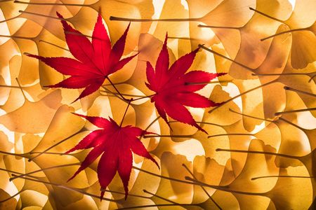 Autumn background composed from overlapped gingko biloba leaves and three red maple leaves