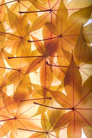 Autumn background composed from overlapped yellow maple leaves