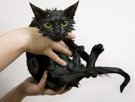 Cute black soggy cat after a bath, funny little demon Stock Photo