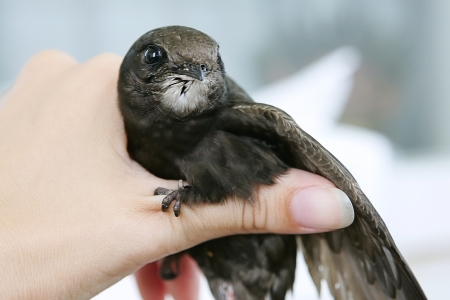 swift: Swift in the home, bird (common swift) in human hand