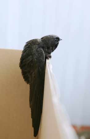 Swift in the home, bird (common swift) photo