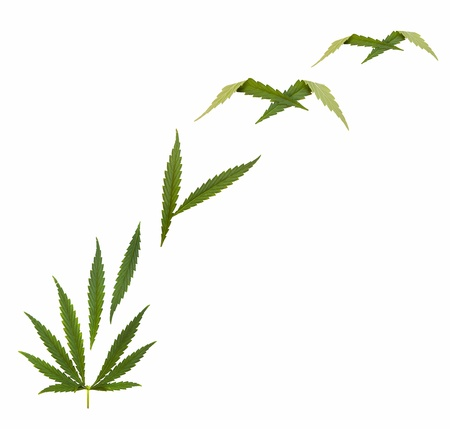 marijuana plant: marijuana legalize - Hemp leaf - Marijuana (Cannabis)  Stock Photo