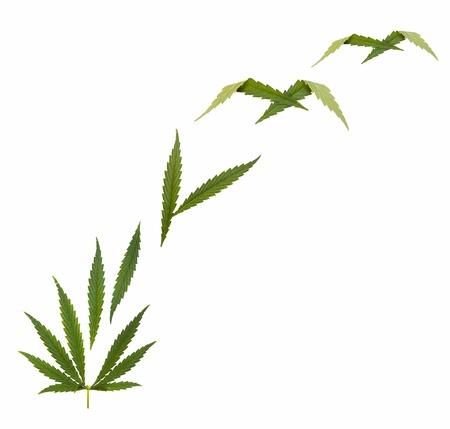 medical herbs: marijuana legalize - Hemp leaf - Marijuana (Cannabis)  Stock Photo