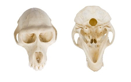 Monkey skull, isolated on white, front and back view photo