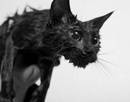 Cute black soggy cat after a bath, funny little demon photo