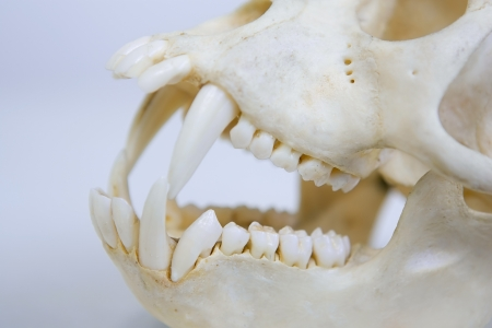 Monkey skull with sharp teeth Stock Photo - 21857639
