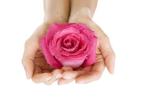白、分離したクローズ アップのピンクのバラを保持している女性の手