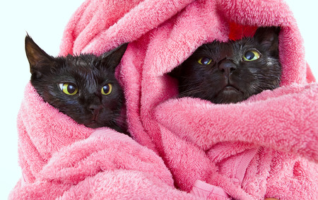 Two Cute black soggy cats after a bath drying off with a towel