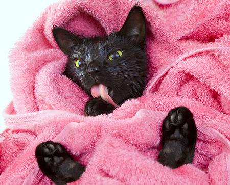 Cute black soggy cat licking after a bath, drying off with a towel photo