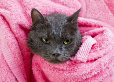 after bath: Cute gray soggy cat after a bath, drying off with a pink towel Stock Photo