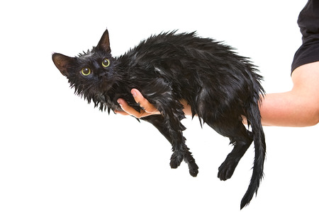 soggy: Hand holding Cute black soggy cat after a bath, drying off
