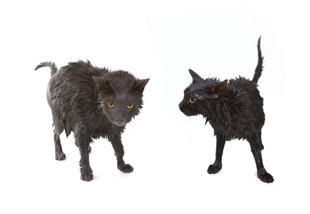 wee: Two Cute soggy cats (black and gray) after a bath, drying off Stock Photo