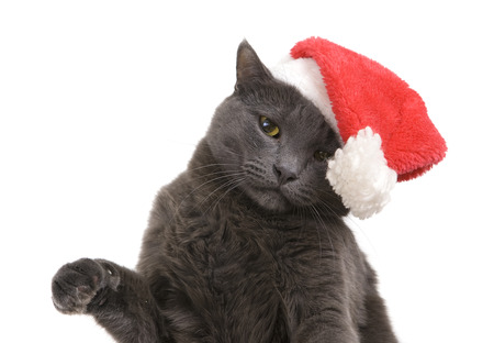 Funny Gray Cat Santa - Cute christmas cat, Christmas pet in the Santa hat showing paw photo