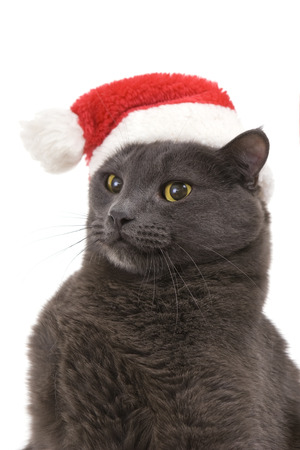 Funny Gray Cat Santa - Cute christmas cat, Christmas pet in the Santa hat photo
