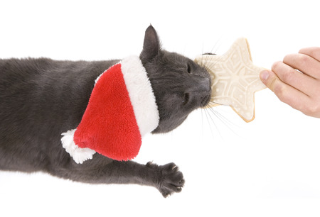 Funny Gray Cat Santa - Cute christmas cat, Christmas pet with Santa Claus hat eating Christmas cookies photo