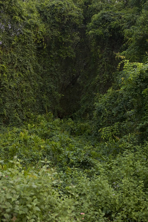 thickets: Deep Forest, Lush Tropical Rainforest in North India, Thickets. Forest Background